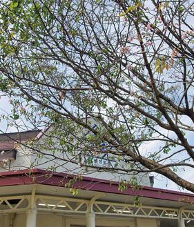 JR横須賀駅改札前の桜(10月1日撮影)