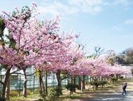 河津桜美しく 浦郷公園で満開