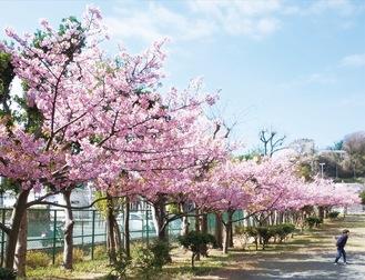 濃いピンク色の花をつけた桜がずらりと並ぶ=今月24日撮影