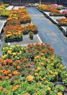 「花の苗」無料配布