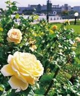 秋風に揺れる可憐なバラ