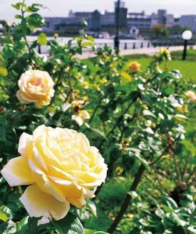 第二次世界大戦が終戦した1945年に平和への願いを込めて名付けられたというバラ「ピース」(フランス産)=今月12日撮影