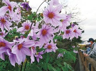 空高く生長して華やかな花を咲かせる=今月13日撮影