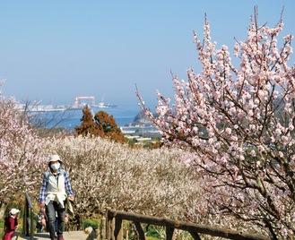 山頂の梅の花はほぼ満開。芝生広場からの眺め=今月22日撮影