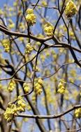 珍種のトサミズキ開花