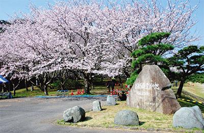 水源地の桜を愛でる