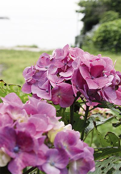 「紫陽花色」に染まる