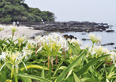 潮風にそよぐ白い花