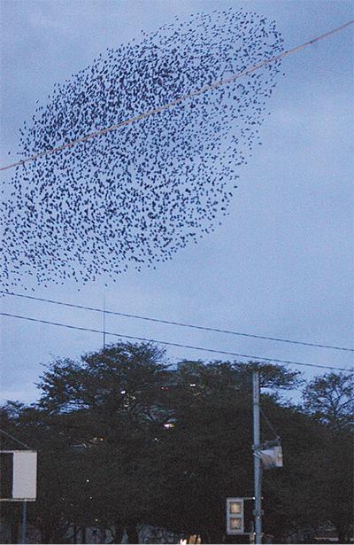 ムクドリ飛来で住民困惑
