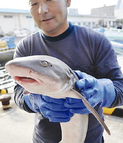 厄介者のサメ、美味しく