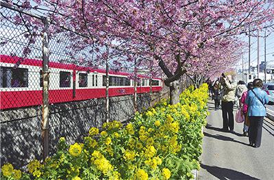 河津桜愛でる花見散策