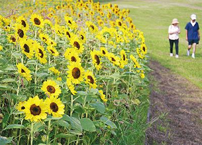 咲き競うひまわり2万本