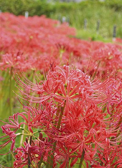 真紅の花模様で秋の訪れ