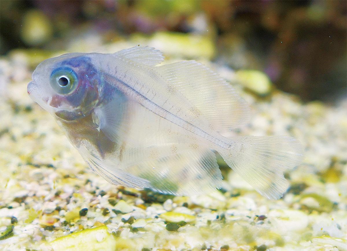 希少幼魚を生体展示