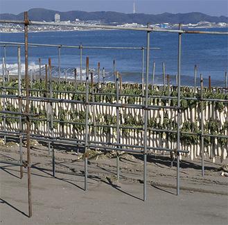 三浦海岸の潮風にあたる大根