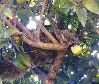 みかんを食べるタイワンリス(県提供)