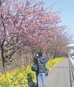 一部では咲き始めた河津桜も(2月6日撮影)