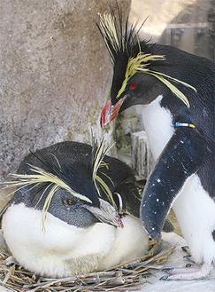 30年間飼育されているキタイワトビペンギンの白(写真左)