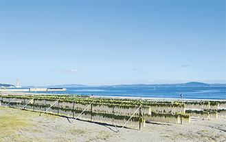 房総半島を背に、砂浜に干されるダイコン(=11月28日撮影)