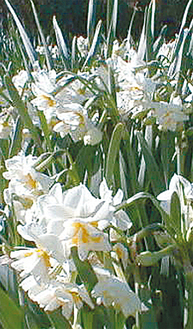 約70万株の八重水仙が咲き乱れる(写真は過去の様子)