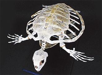 展示中のウミガメの骨格標本