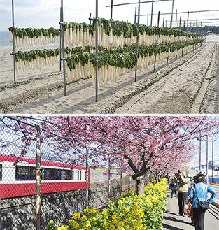 候補の「三浦海岸の大根干し」と「河津桜と電車」