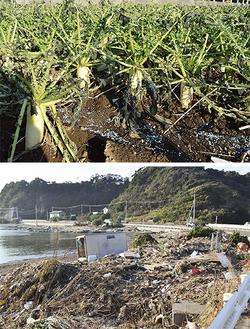 塩害被害を受けたダイコン=写真上=、大量の藻や草、漂着ごみが寄った毘沙門の海=同下=(先月27日撮影)