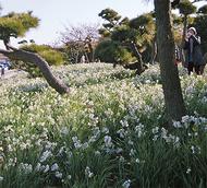 早春運ぶ、水仙の香り
