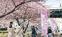 河津桜で春ほころぶ