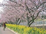 義盛の足跡と早咲き桜