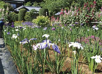 鮮やかな花が咲く隠れ花菖蒲園(写真は過去のもの)