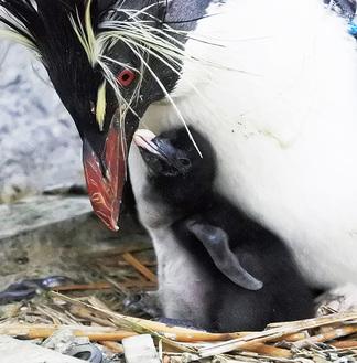 親鳥にエサをねだるヒナ鳥(写真提供/京急油壺マリンパーク)