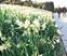 初春に香る八重水仙