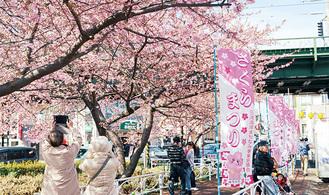 河津桜が咲き乱れる三浦海岸駅前(過去の様子)