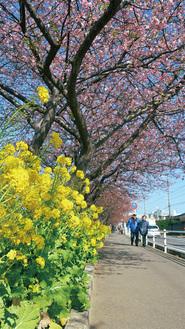 まもなく見ごろとなる桜並木(今月18日撮影)