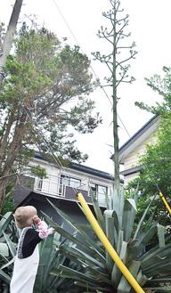 まっすぐに伸びた茎の先でつぼみが膨らむリュウゼツラン(今月2日撮影)