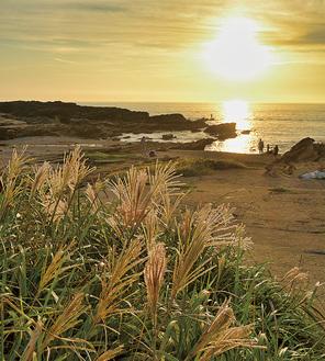 夕日で黄金色に輝く城ヶ島のすすき(写真は昨年の様子)