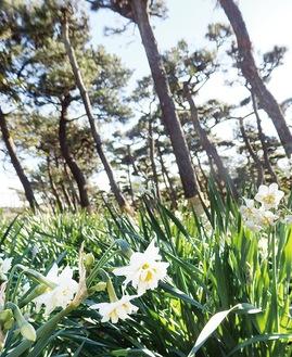 クロマツの下に咲く水仙(今月6日撮影)