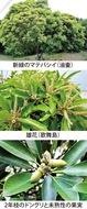 第9回 原始的な樹木「マテバシイ」