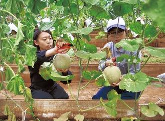 メロンを収穫する生徒