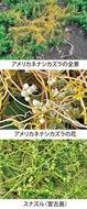 第11回 外来種「アメリカネナシカズラ」