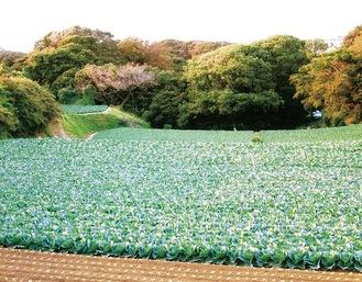 森近くのキャベツ畑