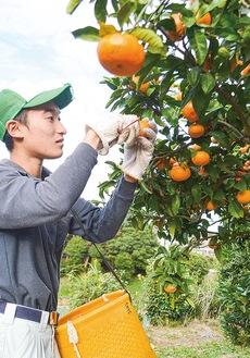 みかんを収穫する芦澤さん