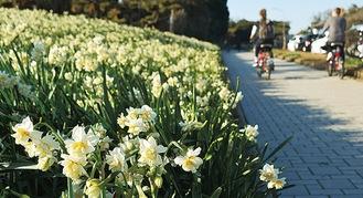 初春を告げる城ヶ島公園の水仙(写真は過去の様子)