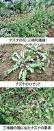 第15回 七草粥を代表する「ナズナ」