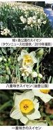 第16回 美しい花「スイセン」には毒がある