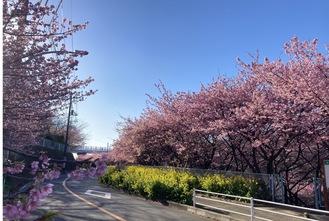満開の河津桜と菜の花(今月17日撮影)