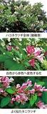 第20回 花色が変わる「ハコネウツギ」