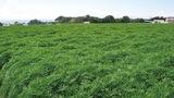 ダイコン畑一面に草原