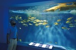 回遊水槽のサメを見つめる中井館長